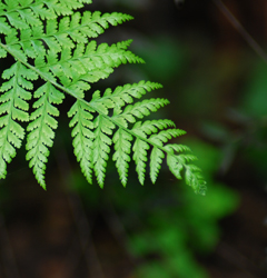 Fern frond by ~Aquila~